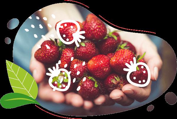 les mains du maraicher producteur de fraises biologiques montrent les fruits biologiques pour les aniimations velo smoothie