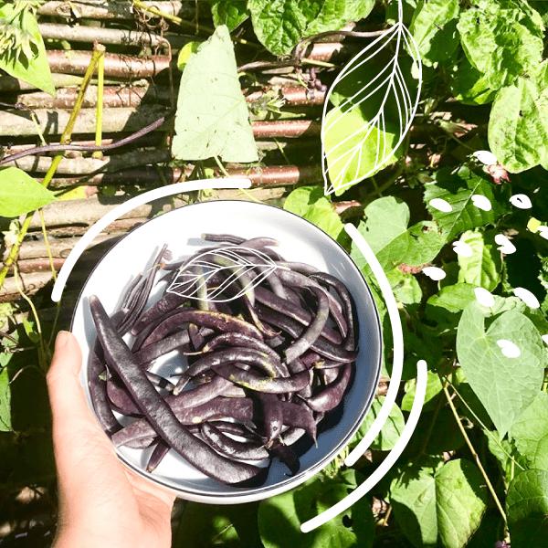les haricots violets du jardin d'entreprise